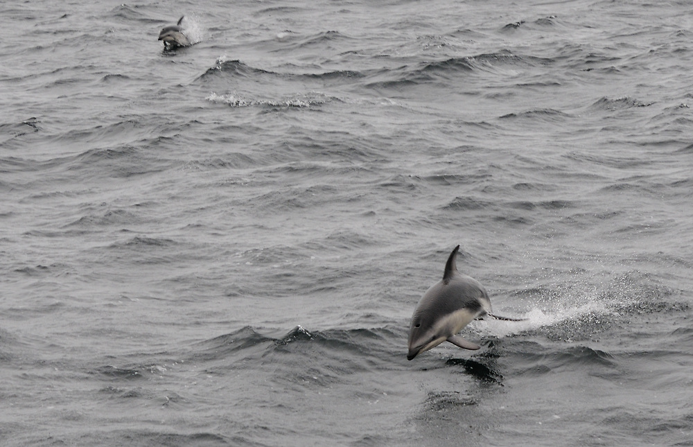 Dusky Dolphins (Lagenorhynchus obscurus) leaping from the sea. Drake Passage, South Atlantic Ocean. 05Mar16