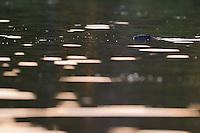 Beaver, Castor fiber, safari per canoe near Rieth, Germany,  Oder river delta/Odra river rewilding area, Stettiner Haff, on the border between Germany and Poland