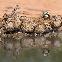 Colinus virginianus, family, South Texas,