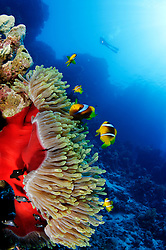 Amphiprion bicinctus und Heteractis magnifica, Rotmeer Anemonenfische und Prachtanemone und Taucher, Red Sea or two-banded anemonefish or clownfish with magnificent Sea anemone and scuba diver, Abu Fandera, Rotes Meer, Ägytpen, Abu Fandera, Red Sea, Egypt