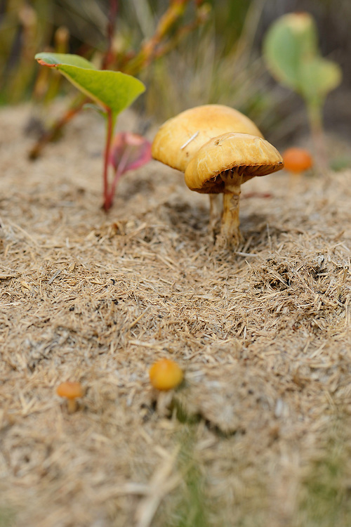 Mushrooms in horse dung, in the Tarcu mountains nature reserve, Natura 2000 area, Southern Carpathians, Romania. The release was actioned by Rewilding Europe and WWF Romania in May 2014.