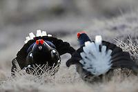 12.04.2009..Black Grouse (Tetrao tetrix) displaying on a bog. Lekking behaviour. Courting. Fighting. Frost...Bergslagen, Sweden.