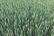 Wheat crop in The Cotswolds, Oxfordshire, UK