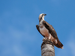 An osprey eats a freshly caught fish on a dead palm tree near Streeter's Jetty in Broome's Dampier Terrace.  The ospreys are residents near the mangroves.