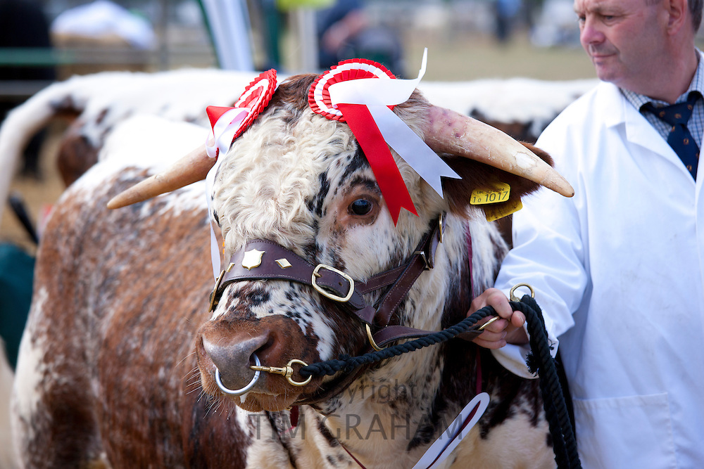 Champion Longhorn Bull at Moreton Show, agricultural event in Moreton-in-the-Marsh Showground, The Cotswolds, UK