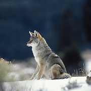 An adult male coyote (Canis latrans) sits in sagebrush scanning the area for prey during winter in Wyoming.