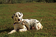 Dalmatian Dogs. Mother with feeding puppies