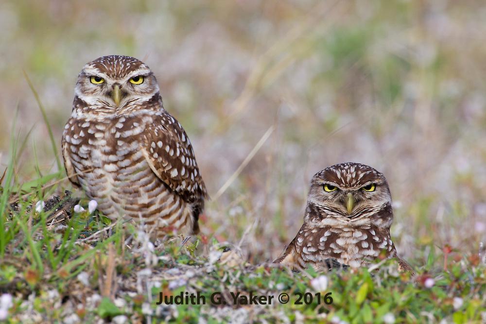 Burrowing Owl Cape Coral FL