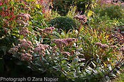 Sedum telephium 'Matrona' in autumn border with Perovskia 'Blue Spire', Persicaria affinis 'Superba' RHS, Stipa gigantea, Phlomis, Heuchera and Buxus - Box ball, September