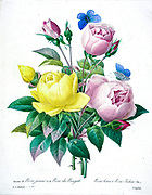 19th-century hand painted Engraving illustration of a Bouquet of pink and yellow roses, by Pierre-Joseph Redoute. Published in Choix Des Plus Belles Fleurs, Paris (1827). by Redouté, Pierre Joseph, 1759-1840.; Chapuis, Jean Baptiste.; Ernest Panckoucke.; Langois, Dr.; Bessin, R.; Victor, fl. ca. 1820-1850.