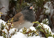 Oregon Junco with a snowflake on its nose, Rio Rancho, New Mexico. Junco hyemalis