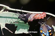 03004-012.14 Pipevine Swallowtail Butterfly (Battus philenor) emerging from chrysalis,  Marion Co., IL