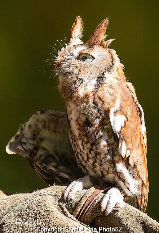 Eastern Screech Owl Kokopelli APCH