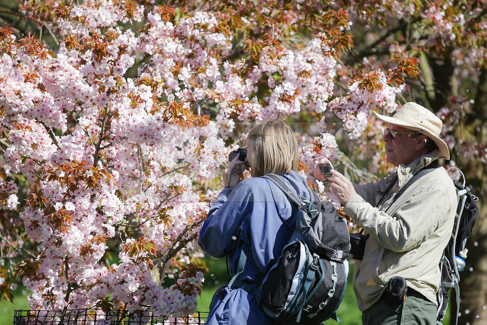 © Licensed to London News Pictures. 22/04/2015. Bristol, Avon, UK. A couple take photographs of Cherry Blossom at Westonbirt, The National Arboretum today, 22nd April 2015. The south west of England is set for more warm temperatures and plenty of sunshine today. Photo credit : Rob Arnold/LNP
