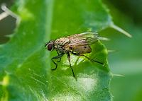 HALFWEG - insecten op de golfbaan , Prosena siberita. Onderfamilie Dexiinae. Tribus Dexiini. Familie Sluipvliegen .Amsterdamse Golf Club. (AGC)  . Insecteninventarisatie  COPYRIGHT KOEN SUYK