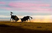 Wildebeest fighting, rutting, Ngorongoro Conservation Area, Tanzania.