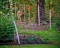 Fawn checking out the electric fence and the flowers behind. Image taken with a Fuji X-T3 camera and 200 mm f/2 OIS lens (ISO 320, 200 mm, f/2, 1/850 sec).