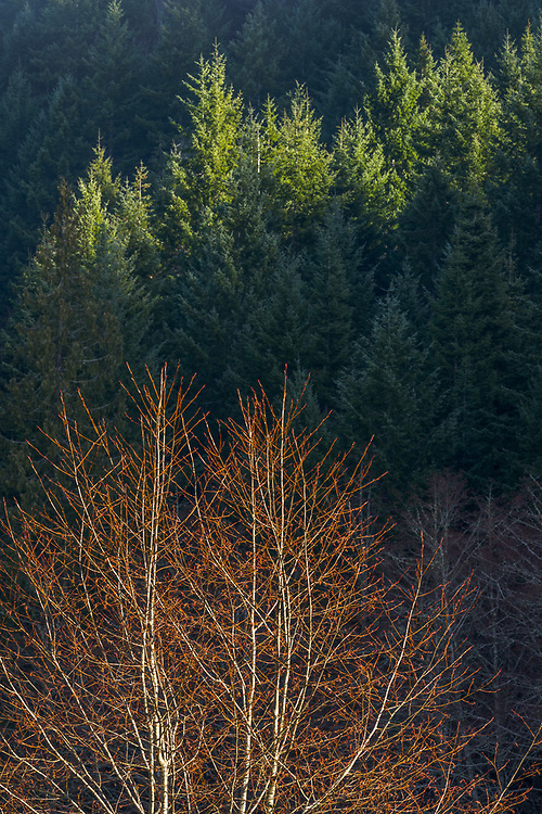 Pacific red alder (Alnus rubra) and evergreen forest, morning light, January, Elwha River watershed, Clallam County, Olympic National Park, Washington, USA