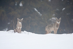 Coyotes in snow and fog, Trinity River Audubon Center, Dallas, Texas, USA.