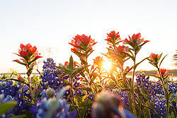 Backlit field of Indian paintbrush (Castilleja indivisa) and bluebonnets (Lupinus texensis) at sunset near shore of Lake Bardwell, Ennis, Texas USA.