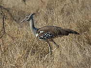 Kori Bustard in  Kruger NP, South Africa