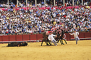 """The bull's body is dragged out by a team of mules. If the presidente is impressed by the performance of the bull, he orders a tour around the ring to honour the animal..Bullfighting in Sevilla's famous bullring """"La Real Maestranza"""" is a significant part of the Feria de Abril..The Feria de abril de Sevilla, """"Seville April Fair"""" dates back to 1847. During the 1920s, the feria reached its peak and became the spectacle that it is today. It is held in the Andalusian capital of Seville in Spain. The fair generally begins two weeks after the Semana Santa, Easter Holy Week. The fair officially begins at midnight on Monday, and runs six days, ending on the following Sunday. Each day the fiesta begins with the parade of carriages and riders, at midday, carrying Seville's citizens to the bullring, La Real Maestranza. Seville. Andalusia. Spain...Blood sport ending in the killing of a bull in front of thousands of spectators. An entertainment and tradition derived from the ancient gladiatorial spectacles of Roman times. This activity is loved and defended by 'affecionados' who see the artistry and traditions whilst it is detested by animal rights activists, environmentalist and ecologists for its cruelty to animals"""