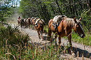 """Saddle horses on the trail at Cerro Tronador, an extinct stratovolcano in the southern Andes, near Bariloche, in the Lake District of Argentina. The sound of falling seracs gave it the name Tronador, Spanish for """"Thunderer."""" With an altitude of 3470 m, Tronador stands more than 1000 meters above nearby mountains in the Andean massif, making it a popular climb in Patagonia, South America. Located inside two National Parks, Nahuel Huapi in Argentina and Vicente Pérez Rosales in Chile, Tronador hosts eight glaciers, which are retreating due to warming of the upper troposphere."""