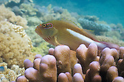 Arc-eye or Ring-eye Hawkfish (Paracirrhites arcatus) on Acropora palifera coral - Agincourt Reef, Great Barrier Reef, Queensland, Australia. <br /> <br /> Editions:- Open Edition Print / Stock Image