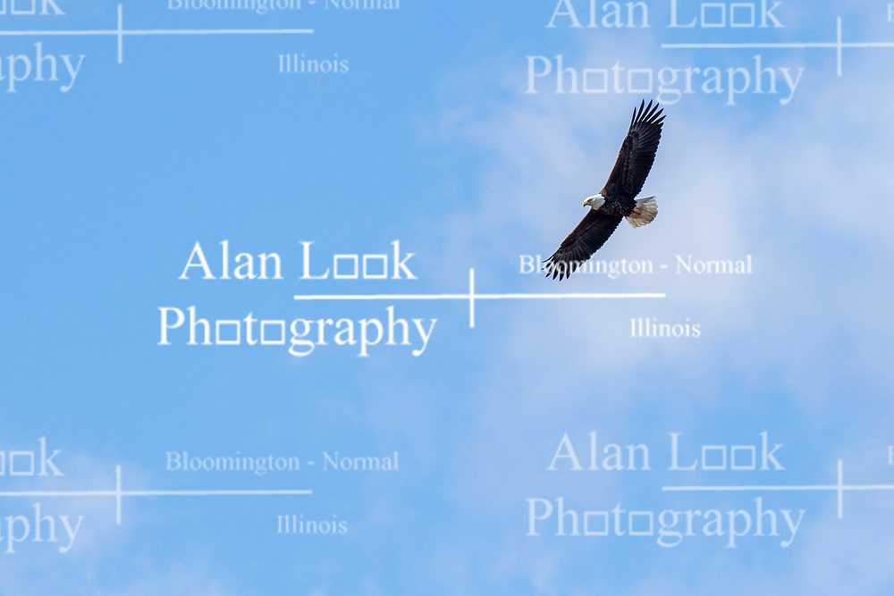 American Bald Eagle (Haliaeetus leucocephalus) flies overhead agains the background of a blue sky with some scattered white puffy clouds