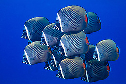 A school of White-Collar Butterflyfish, Chaetodon collare, hover in formation in mid-water. Similan Islands Marine National Park, Thailand, Andaman Sea