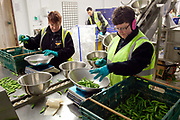 Female workers sorting lettuce, Riverford Organics farm, Totnes, Devon, UK food industry