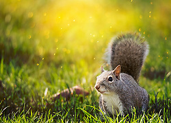 Mr. Squirrel Trouncing Through The Grass On A Sunny Afternoon