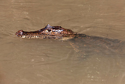 Caiman resting in the water, Costa Rica