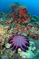 Crown of Thorns Star Fish and Anthias