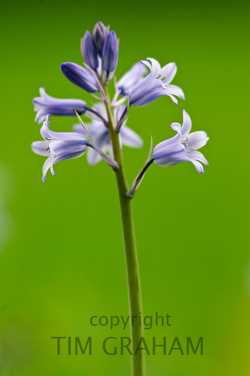 Spanish Bluebells growing in England