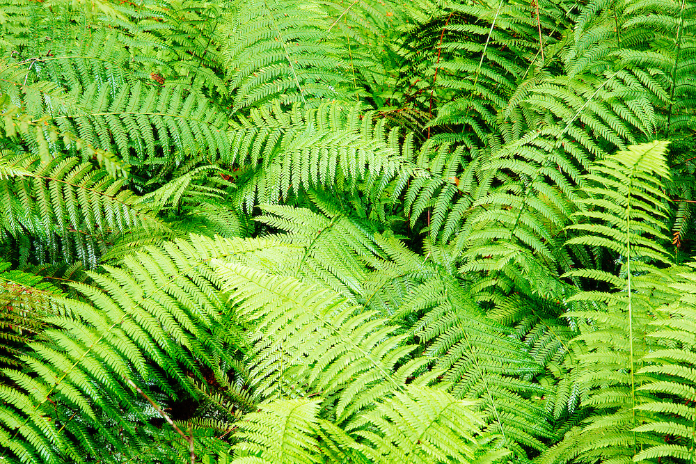 Ferns fronds growing over each other in one of the deep shaded valleys of the Grand Canyon Circuit in Blue Mountains National Park.