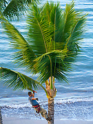 Polynesian Man Trimming Coconut palm tree, Lahaina, Maui, Hawaii
