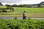 Man walking through a strawberry field, Strawberry pickers on Riverford organic farm, Devon, UK food industry