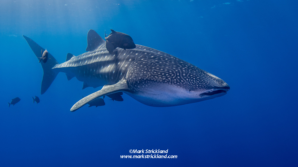 Whale Shark, Rhincodon typus, accompanied by Black Jacks, Caranx lugubris. The Boiler, San Benedicto Island, Revillagigedos Archipelago, Mexico, Pacific Ocean