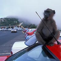 South Africa, Cape Hope Nature Reserve, Savannah Baboon sits atop car roof (Papio cynocephalus ursinus)