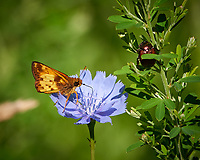 Butterfly on a blue wildflower. Sourland Mountain Preserve. Image taken with a Nikon D800 camera and 300 mm f/2.8 lens (ISO 100, 300 mm, f/8, 1/400 sec).