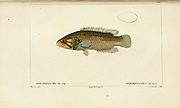 Spirobranchus from Histoire naturelle des poissons (Natural History of Fish) is a 22-volume treatment of ichthyology published in 1828-1849 by the French savant Georges Cuvier (1769-1832) and his student and successor Achille Valenciennes (1794-1865).