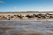 Grey seals (Halichoerus grypus) rest together in their colony along the coastline of Blakeney Point nature reserve in North Norfolk, England, UK.  Blakeney point is a four-mile-long sand and shingle spit popular with tourists for watching the seals and birds in their natural environment with beautiful blue sky with small white clouds.