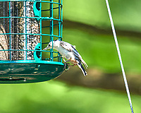 White-breasted Nuthatch (Sitta carolinensi). Image taken with a Nikon D800 camera and 600 mm f/4 VR lens.
