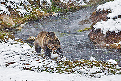 Porky the Yellowstone Grizzly Bear searches for food along Obsidian Creek in Yellowstone National Park during spring Snowstorm. Porky short for porcupine has been so named because last spring she had a limp because of Porcupine quills in her foot and this spring she had porcupine quills in her nose.