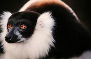 Africa, Madagascar, Sifaka close up
