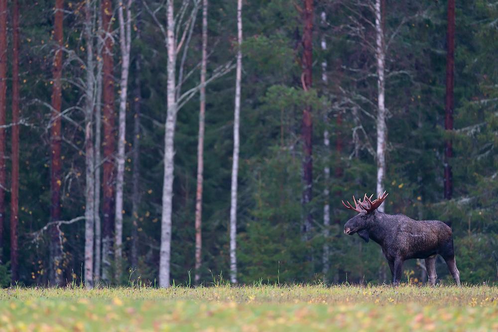 Moose, Alces alces, Burtraesk, Vasterbotten, Sweden
