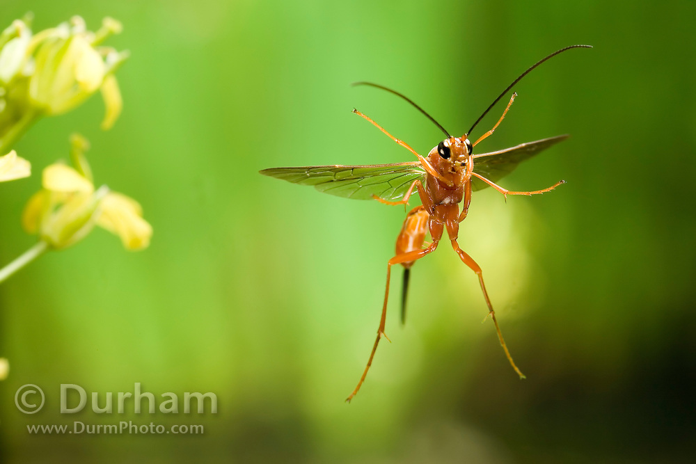An Ichneumon wasp (Ichneunon sp) in flight. Photographed with a high-speed camera in an ponderosa pine forest / canyon habitat. NE Oregon.