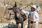 A jimador scratches his donkey after it dropped a load of blue agave pineapple-like cores during harvest in a field owned by the Siete Leguas tequila distillery in the Jalisco Highlands of Mexico. Siete Leguas is a family owned distillery crafting the finest tequila using the traditional process unchanged since for 65-years.