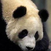 Giant Panda, (Ailuropoda melanoleuca) Resting. Wolong Natural Reserve. Sichuan,China.  Captive Animal.